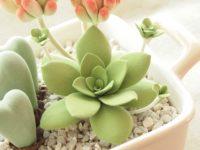多肉植物オルビキュラリス クレイクラフト